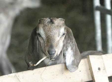 Producer Profile: Larry and Anne Maguire Galway Goat Farm