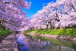 river-sakura.jpg