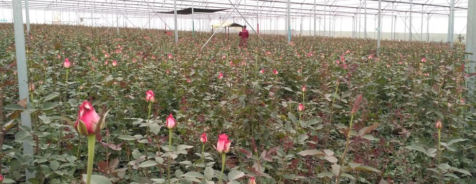 22Ha Roses in Kenya