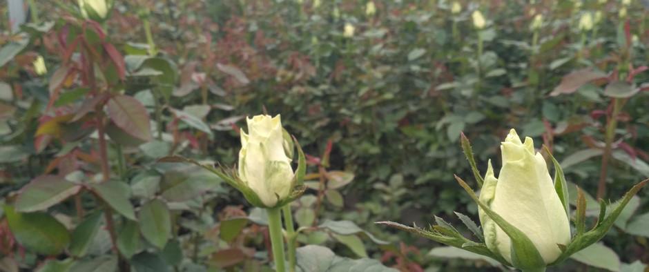 Roses Farm in Kenya