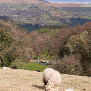 New Lambs in Wild Flower Meadow at start