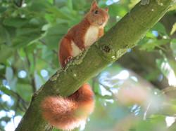 red squirrel newfoundland memorial park
