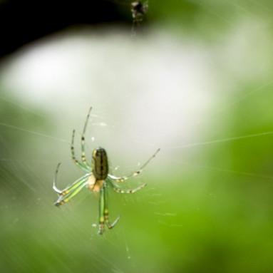Venusta Orchad Spider