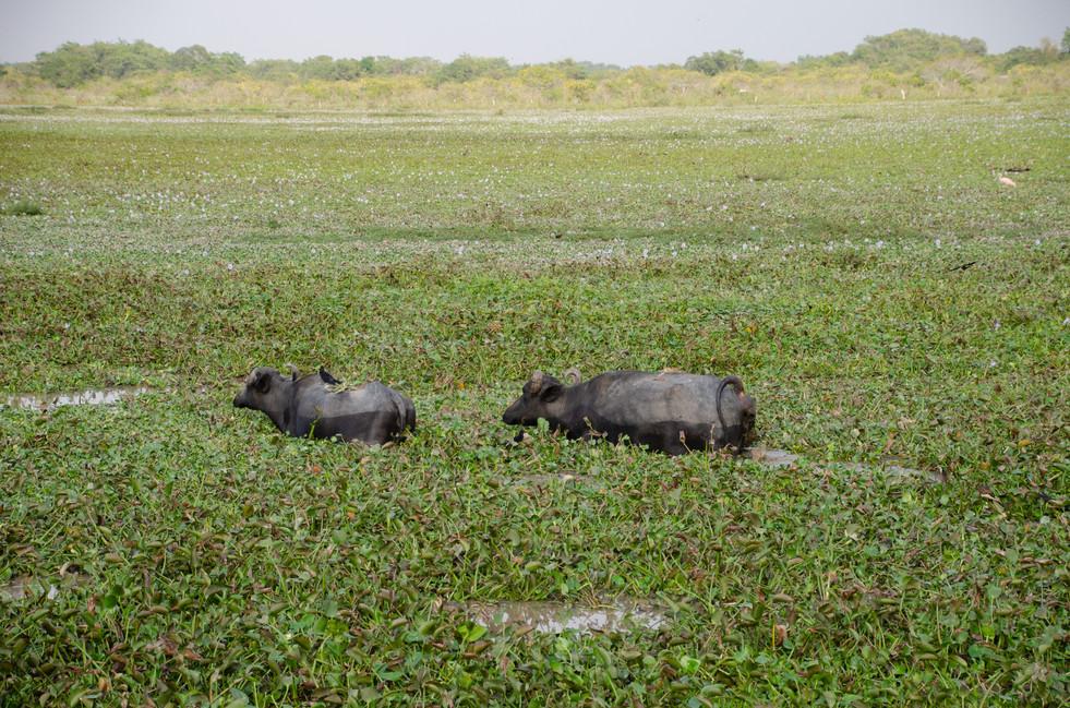 Buffalos Cooling Off