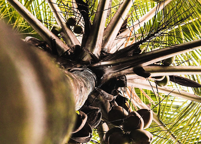 coconut-tree-india-low-angle-shot-164627