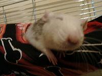 szczur.jpg