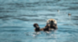sea otter frolicking