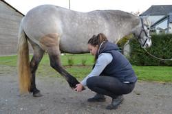 Stretching postérieur cheval