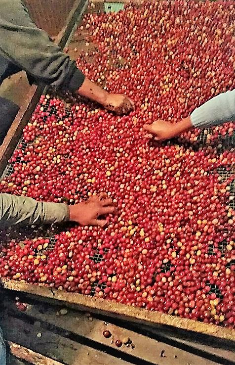Selección de café cereza