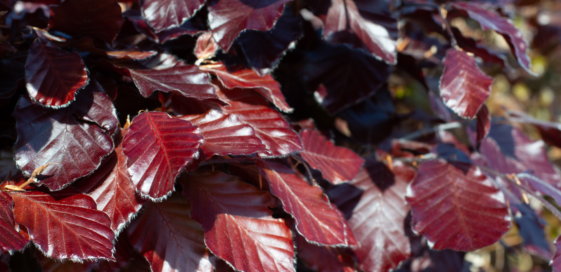 COPPER BEECH_0082.jpg