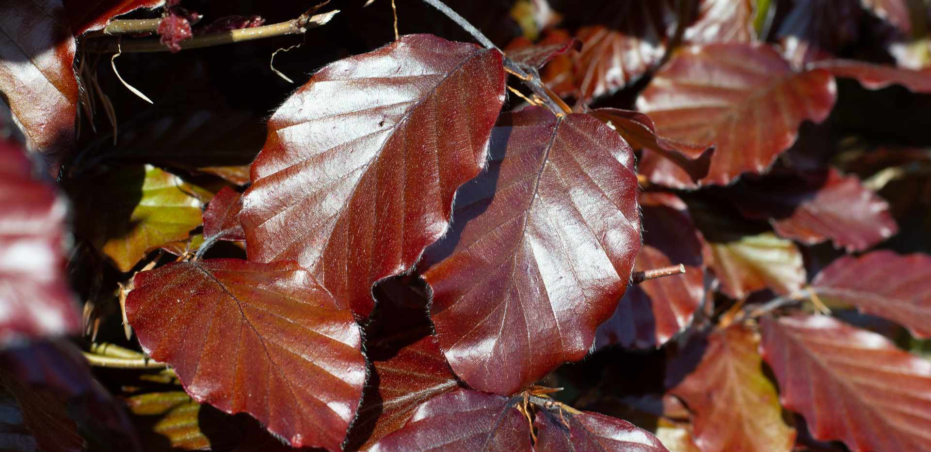 COPPER BEECH_0081.jpg