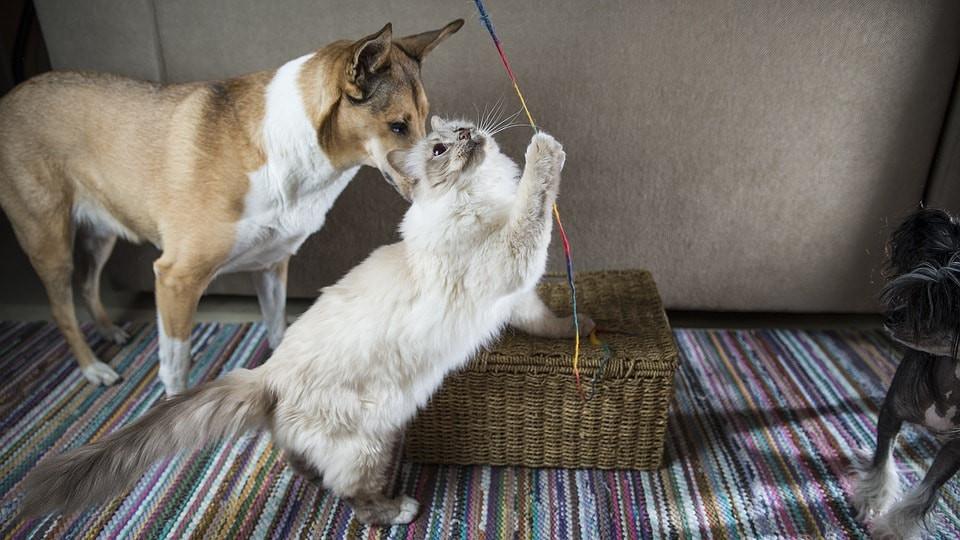 Perros y gatos jugando