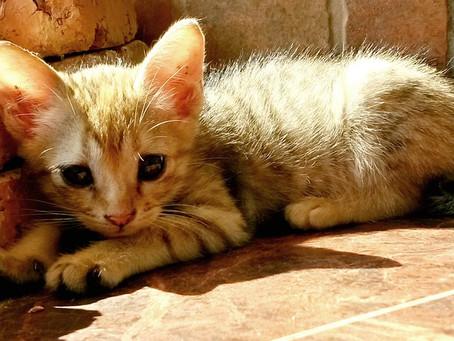 Enfermedades genéticas en gatos: ¿cuáles son las razas más propensas?