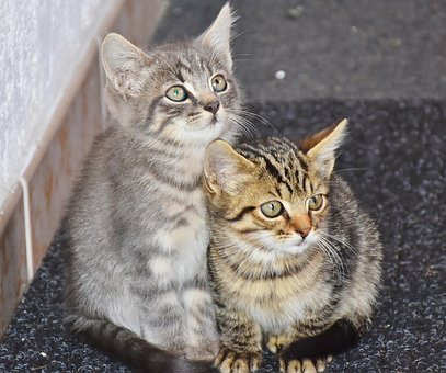 se pueden tener dos gatos en casa