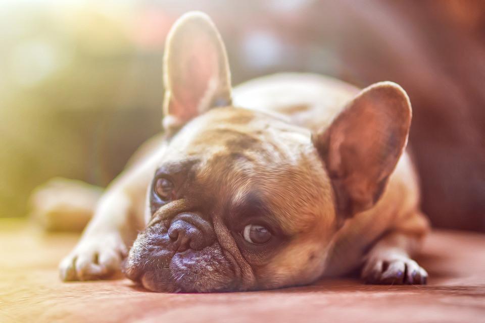 perro vomita después de comer