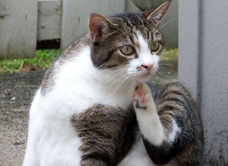 Preguntas que hacerle al veterinario sobre tu gato