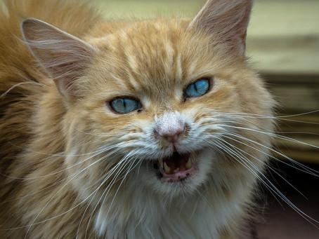 El estrés en los gatos: un enemigo silencioso