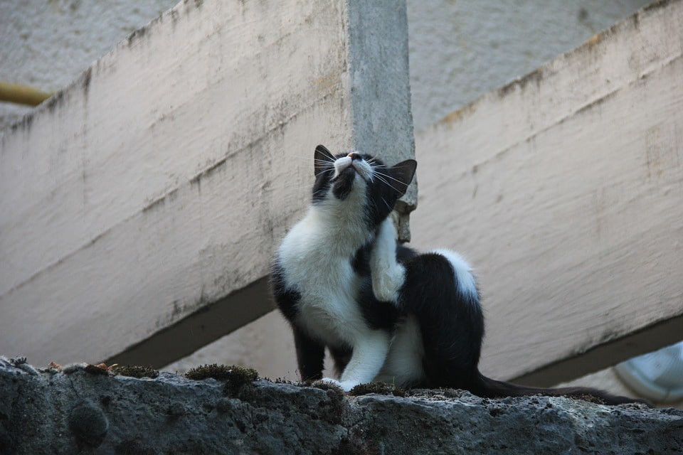 Pulgas en gatos qué hacer