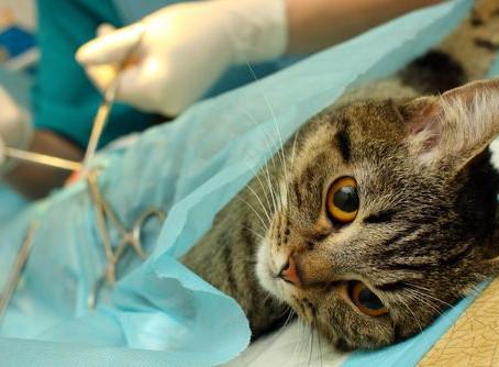 Consecuencias (positivas y negativas) de castrar a un gato