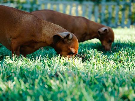 ¿Tu perro come tierra? ¡Te lo explicamos todo!