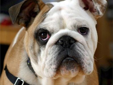 Los Bulldog ameritan un cuidado especial, ¿sabes por qué?