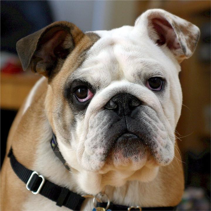 Perro bulldog cuidados