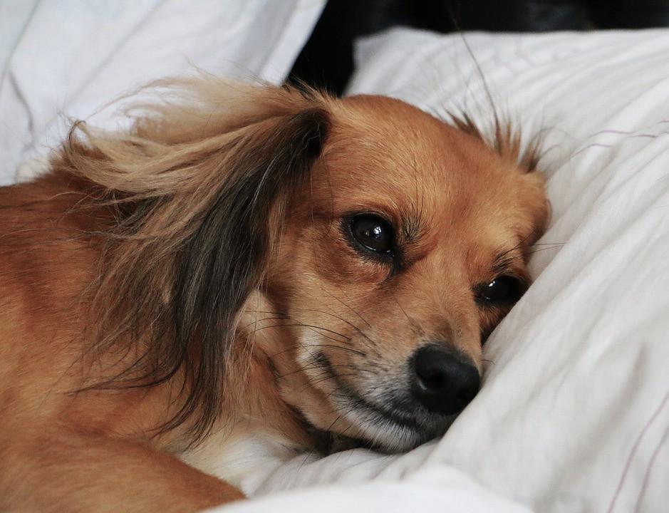 Por qué mi perro tiene verrugas