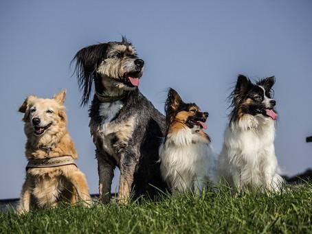 12 Asombrosas curiosidades sobre los perros, ¡y sus explicaciones!