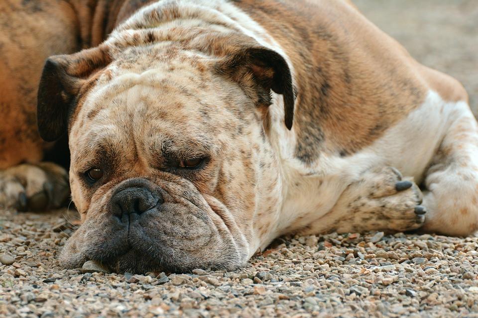 Enfermedades mentales en perros
