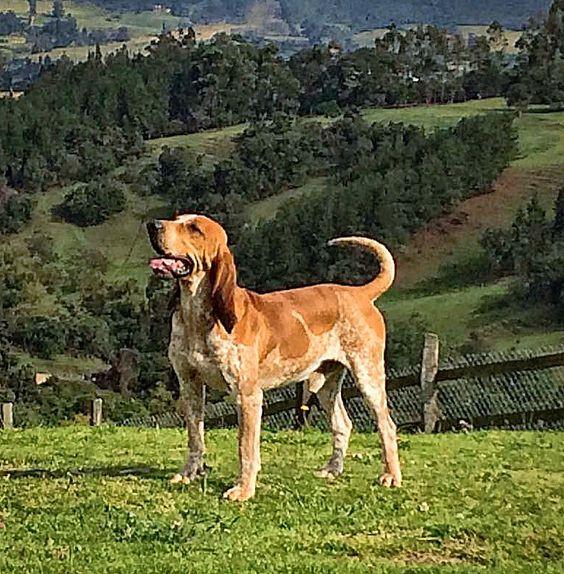 Raza colombiana de perro