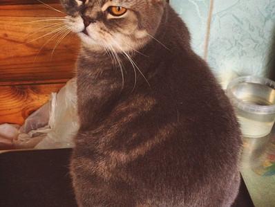 Mi gato come demasiado, es un glotón ¿Qué hago?