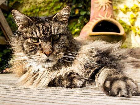 ¿Qué hacer si a tu gato se le cae el pelo?