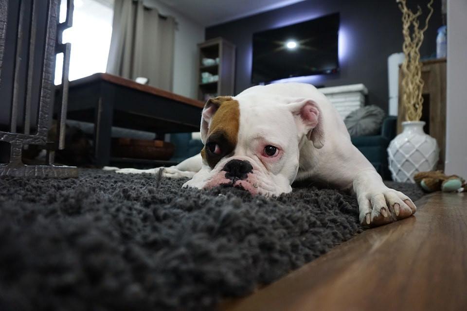 Perro enfermo como detectar un infarto en perro