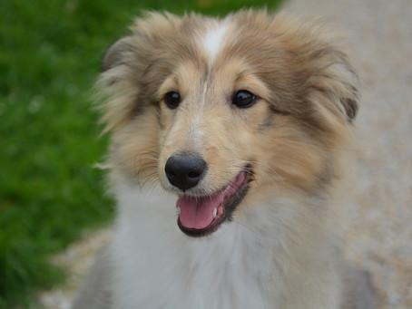 Tips para embellecer y cuidar el pelo de los perros