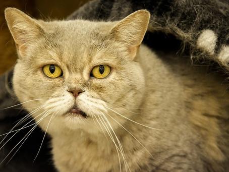 Señales de que tu gato está envejeciendo