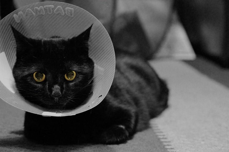 Por qué esterilizar a tu gato