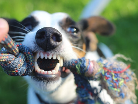 ¿Por qué es tan importante la higiene bucal en los perros?