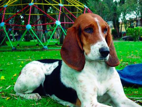 ¿Sabías que Colombia tiene su propia raza de perros? ¡Conócela!