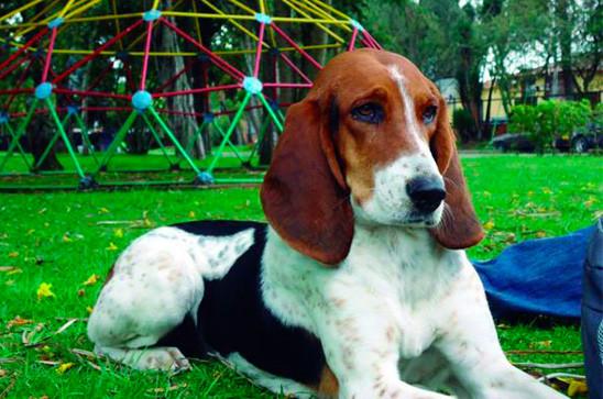 Perro fino de Colombia