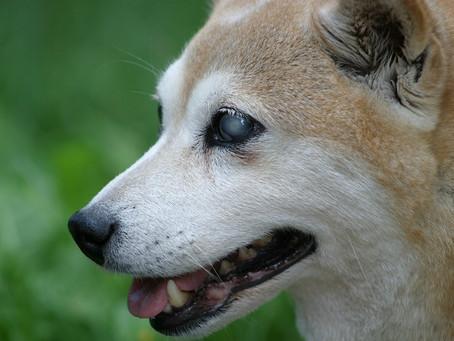 Ceguera en perros: ¿cómo detectarla en su fase inicial?