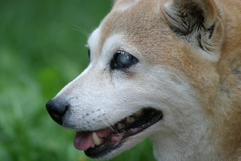 Ceguera en perros por que ocurre