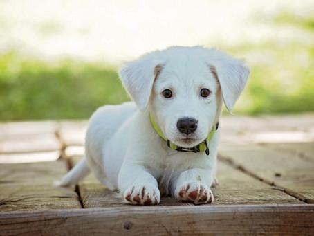 Perros de pelo blanco: ¡entérate de sus cuidados especiales!