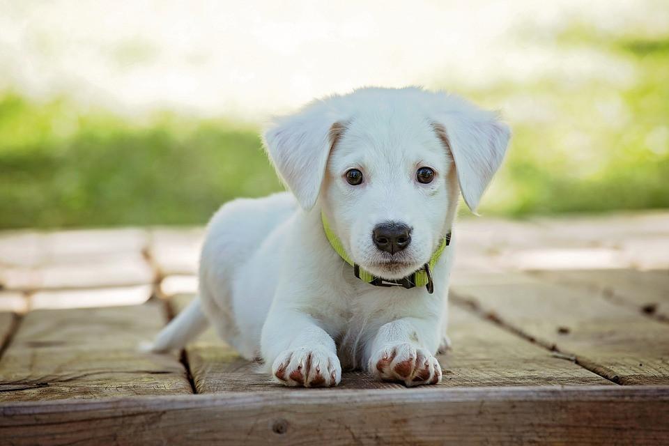 Cómo cuidar el pelo de mi perro pelo blanco