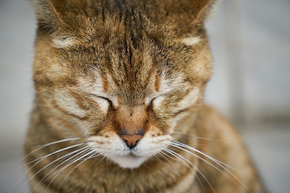Gastritis en gatos
