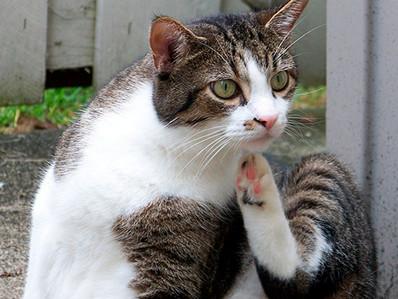 Enfermedades contagiosas entre gatos ¡Conócelas!