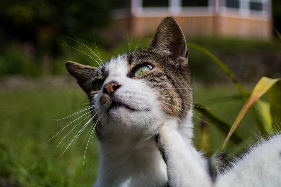 Cómo eliminar garrapatas y pulgas de gatos
