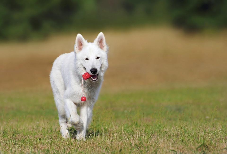 Cómo cuidar el pelaje blanco en perros
