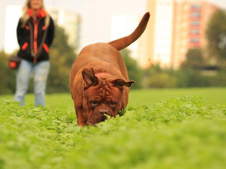 ¿Cómo debe ser la alimentación para perros adultos?
