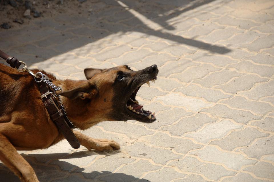 Perro agresivo por pelea de perros