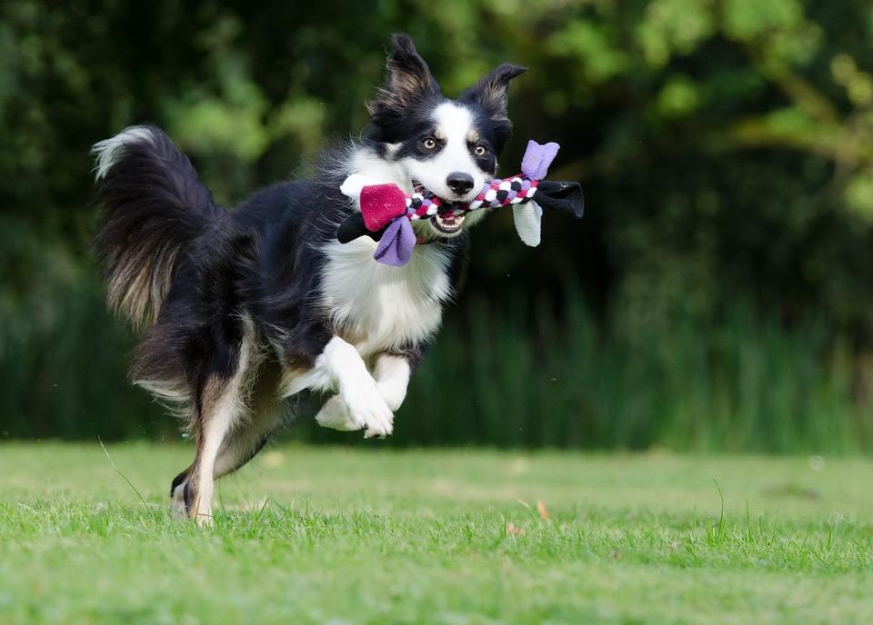 Perro jugando con juguete